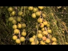 Bunch of gooseberry grow wild in the forest